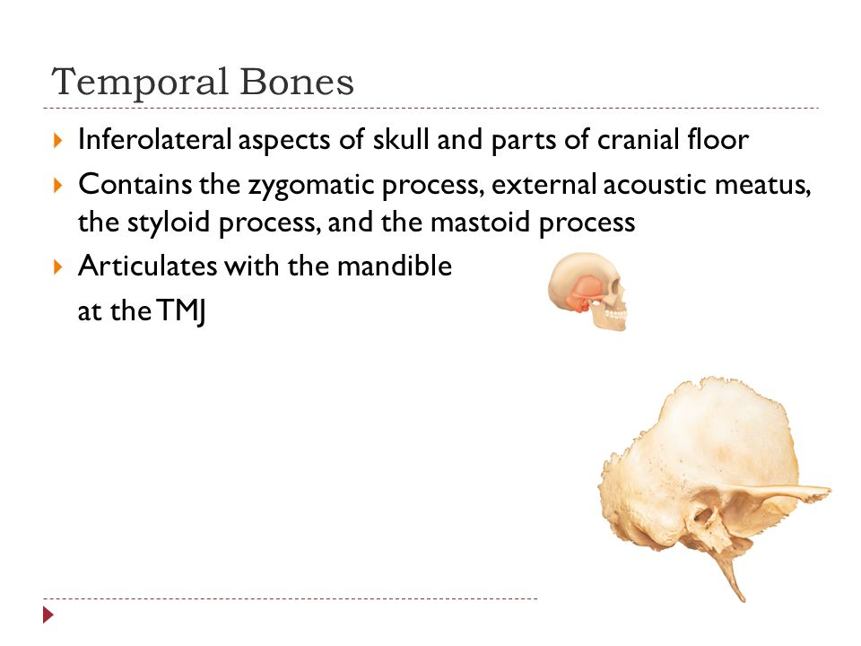 Temporal Bones Inferolateral aspects of skull and parts of cranial floor.