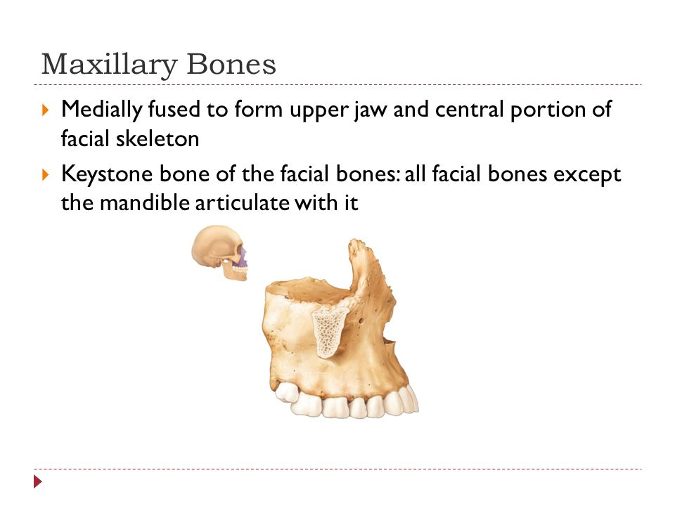 Maxillary Bones Medially fused to form upper jaw and central portion of facial skeleton.