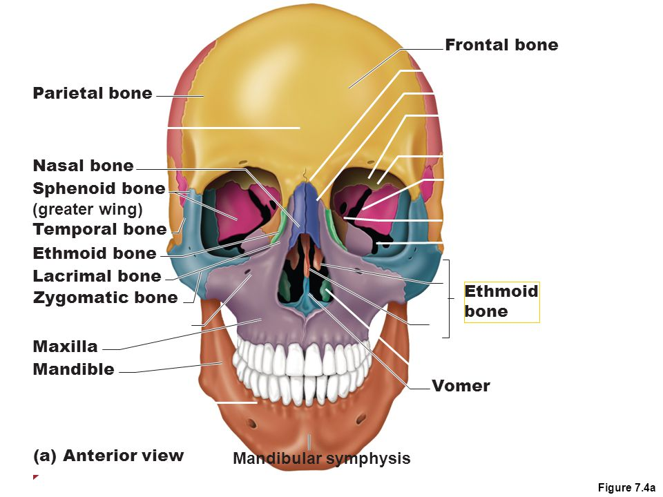 chapter 7: the skeleton part a. - ppt download, Human Body