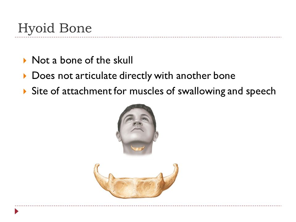 Hyoid Bone Not a bone of the skull