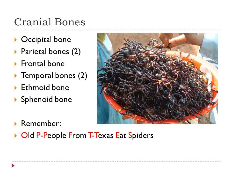 Cranial Bones Occipital bone Parietal bones (2) Frontal bone