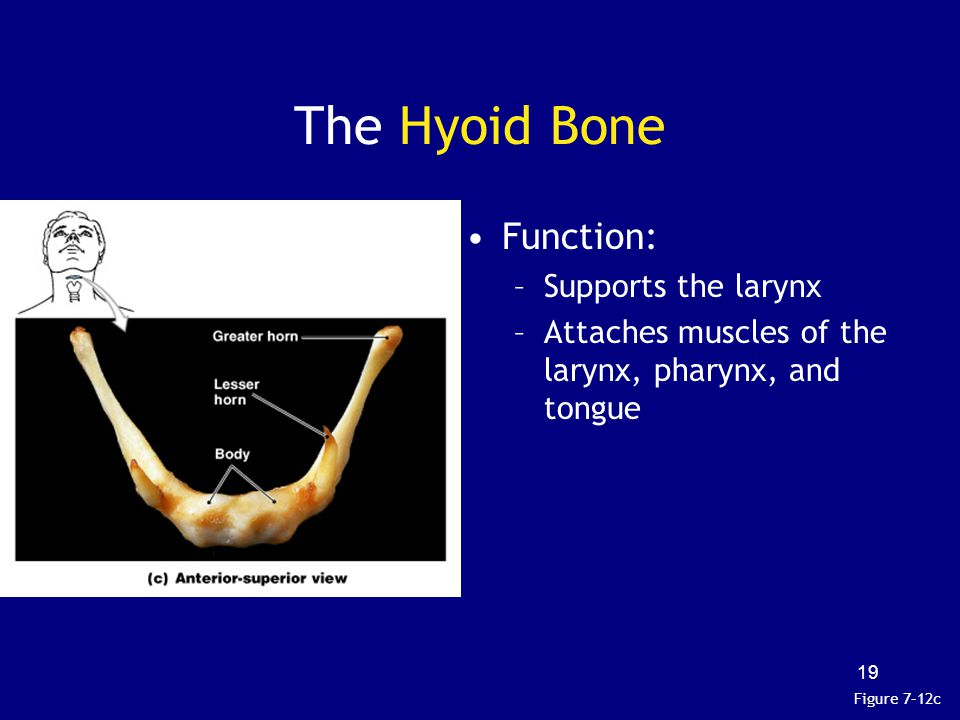The Hyoid Bone Function: Supports the larynx