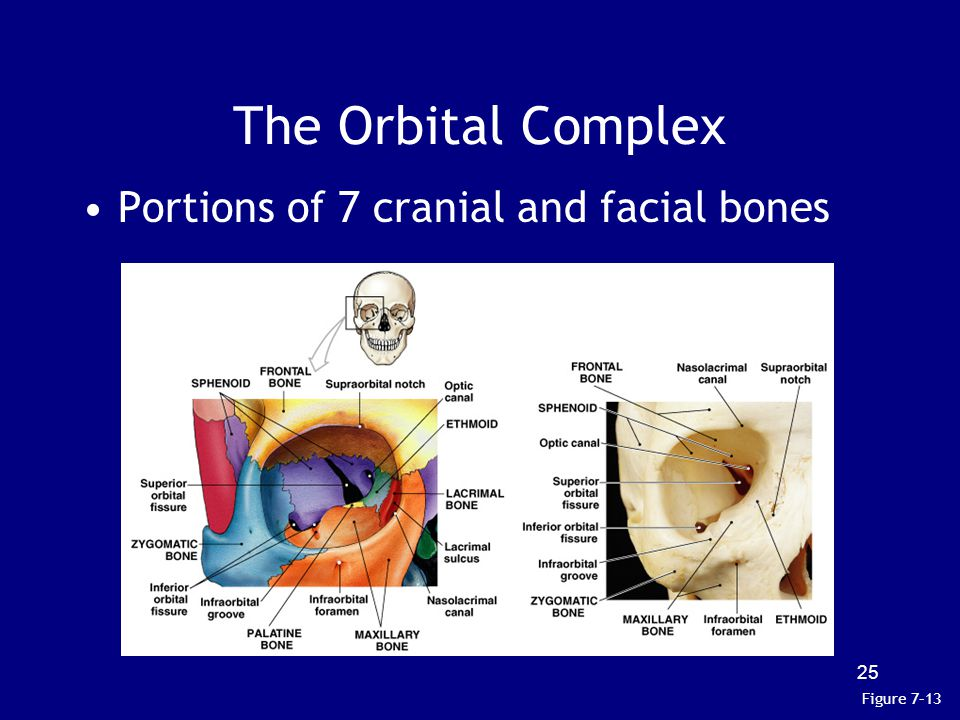 The Orbital Complex Portions of 7 cranial and facial bones Figure 7–13