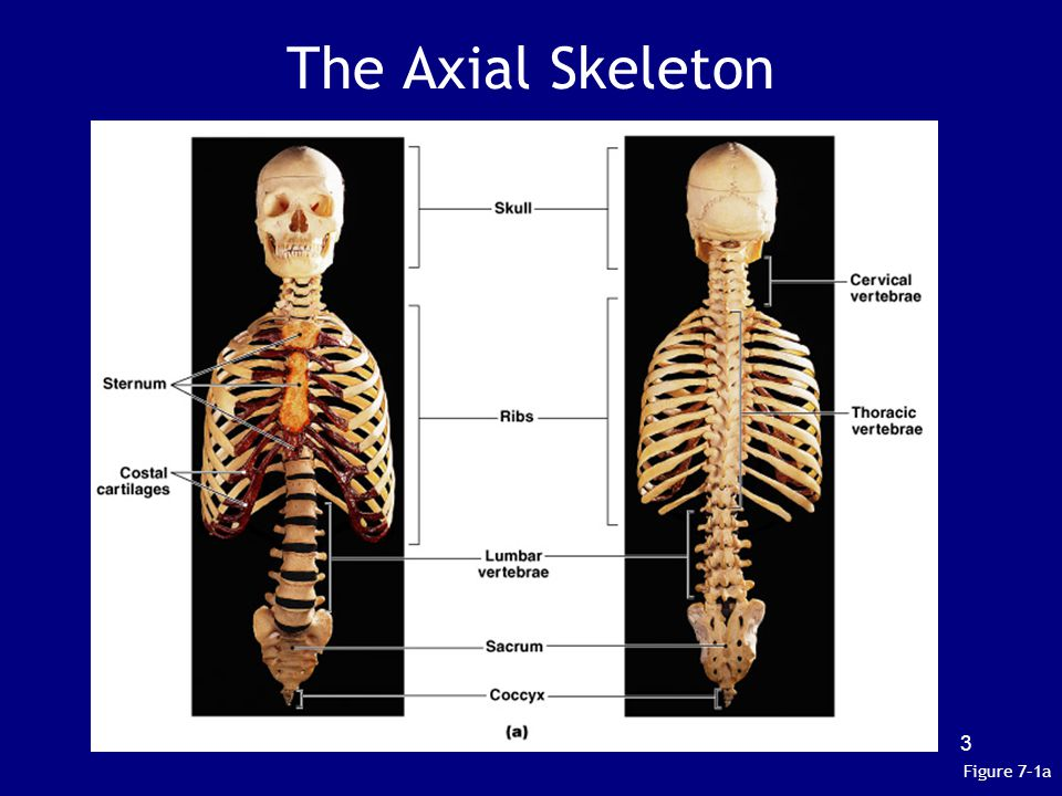 The Axial Skeleton Figure 7–1a