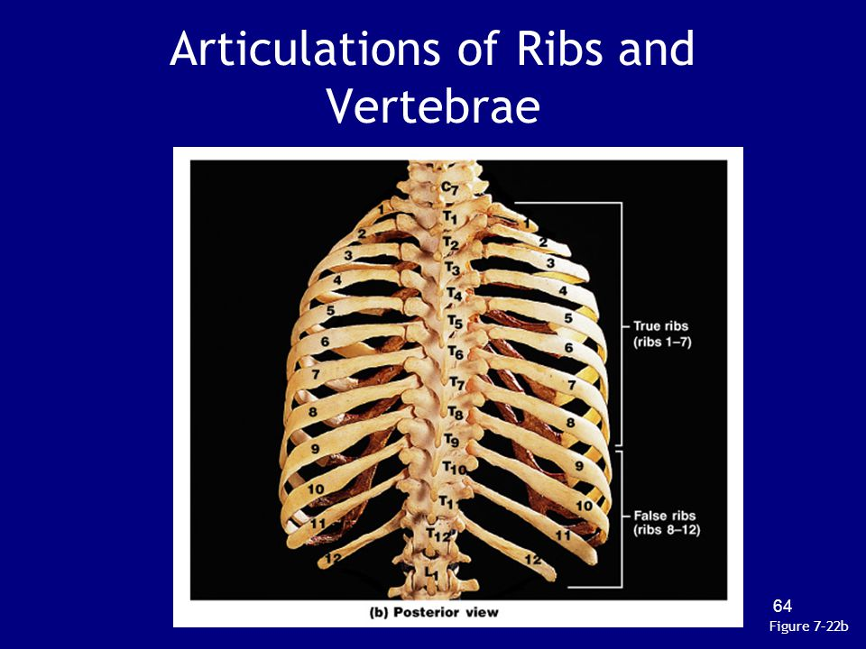 Articulations of Ribs and Vertebrae