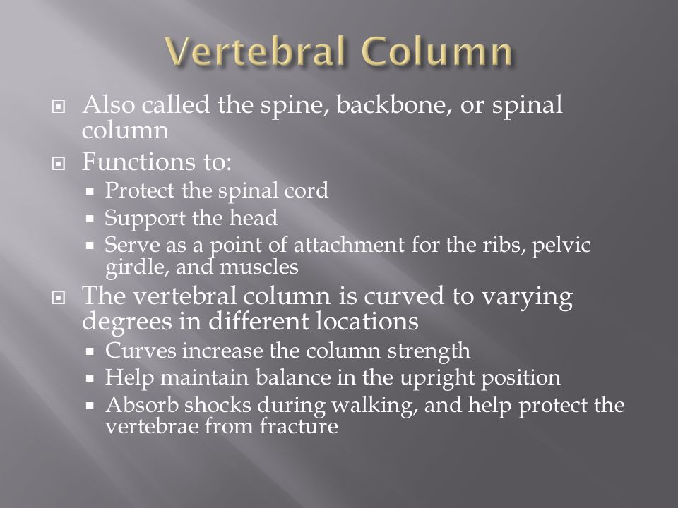 Vertebral Column Also called the spine, backbone, or spinal column
