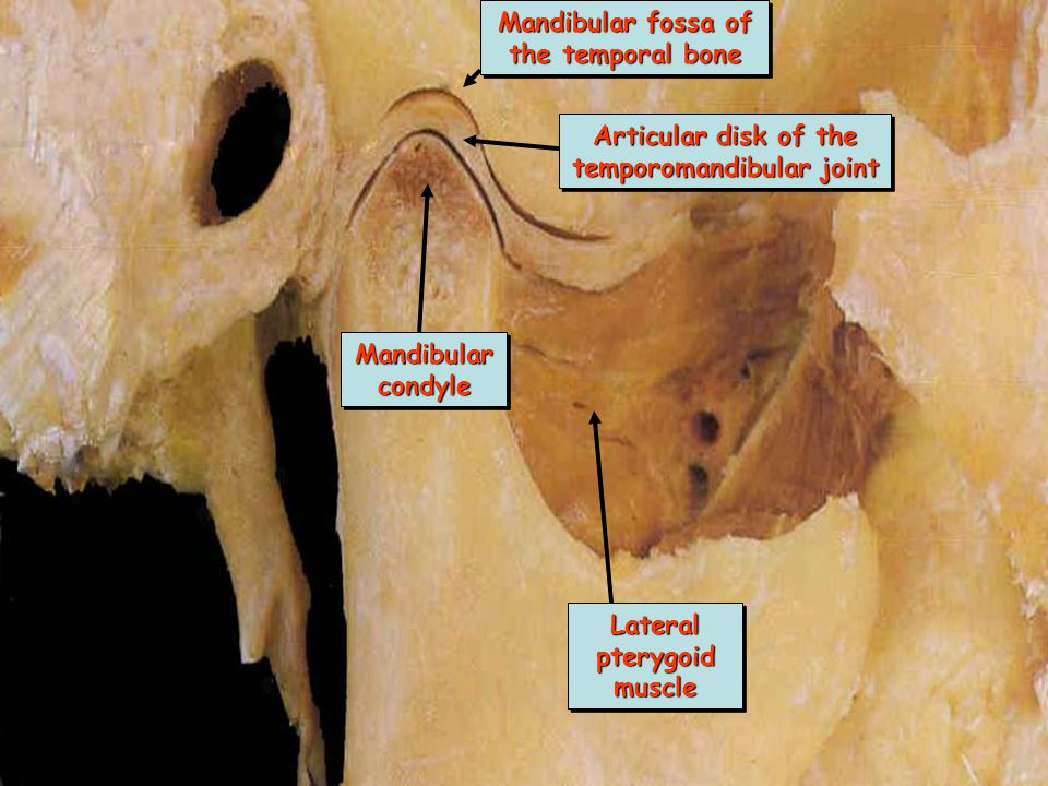 Mandibular fossa of the temporal bone