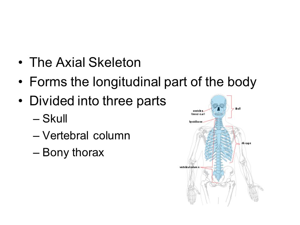 Forms the longitudinal part of the body Divided into three parts