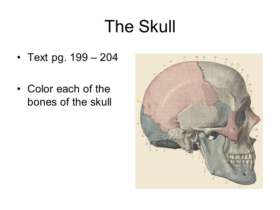 The Skull Text pg. 199 – 204 Color each of the bones of the skull
