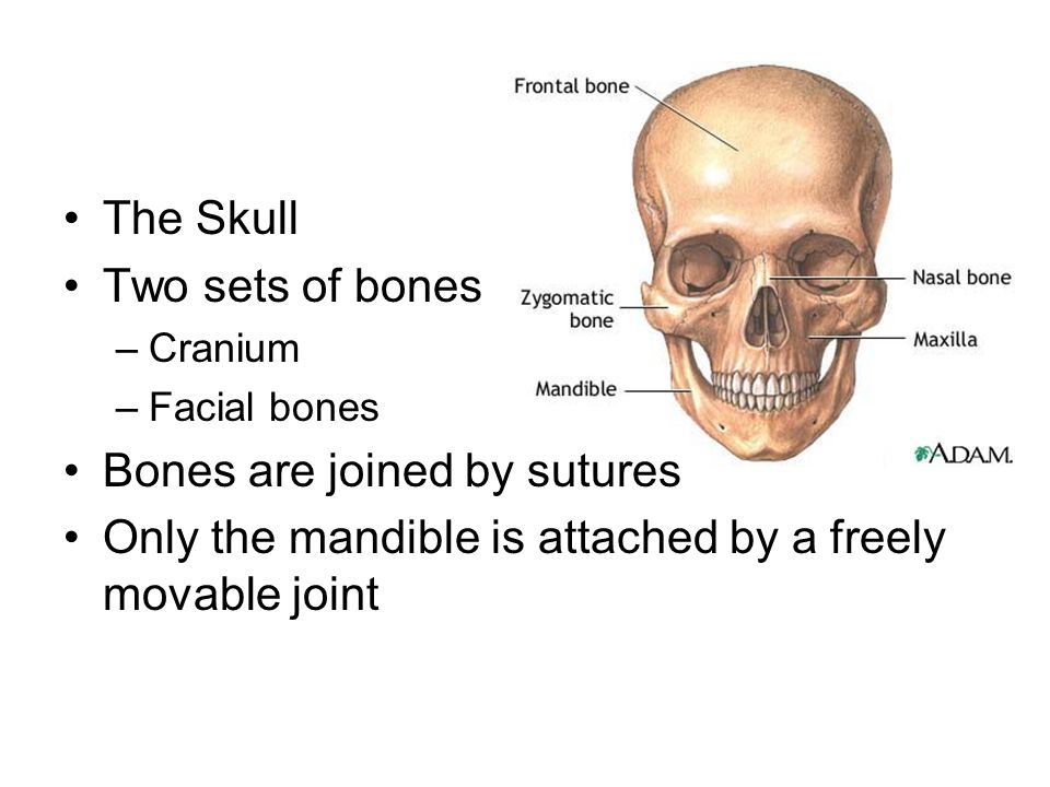 Bones are joined by sutures