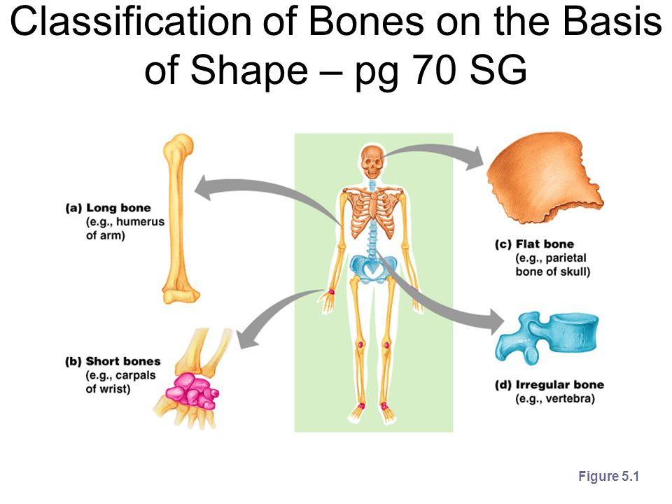 Classification of Bones on the Basis of Shape – pg 70 SG