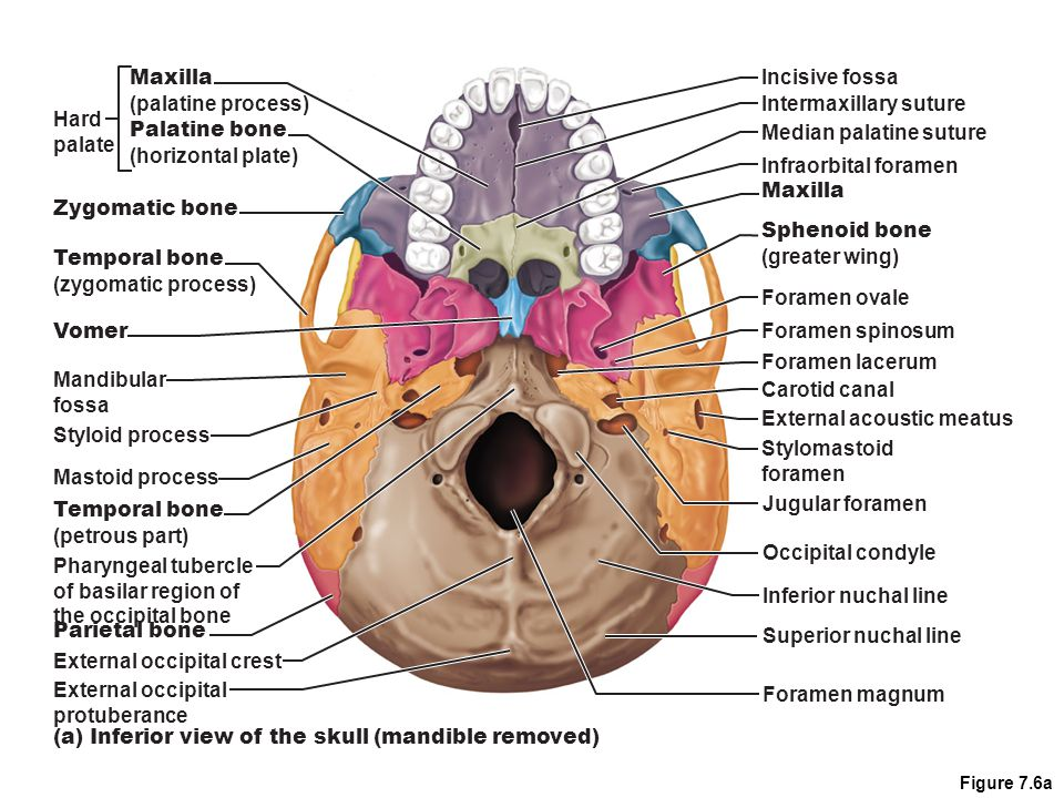sphenoid bone foramen – applecool, Human body