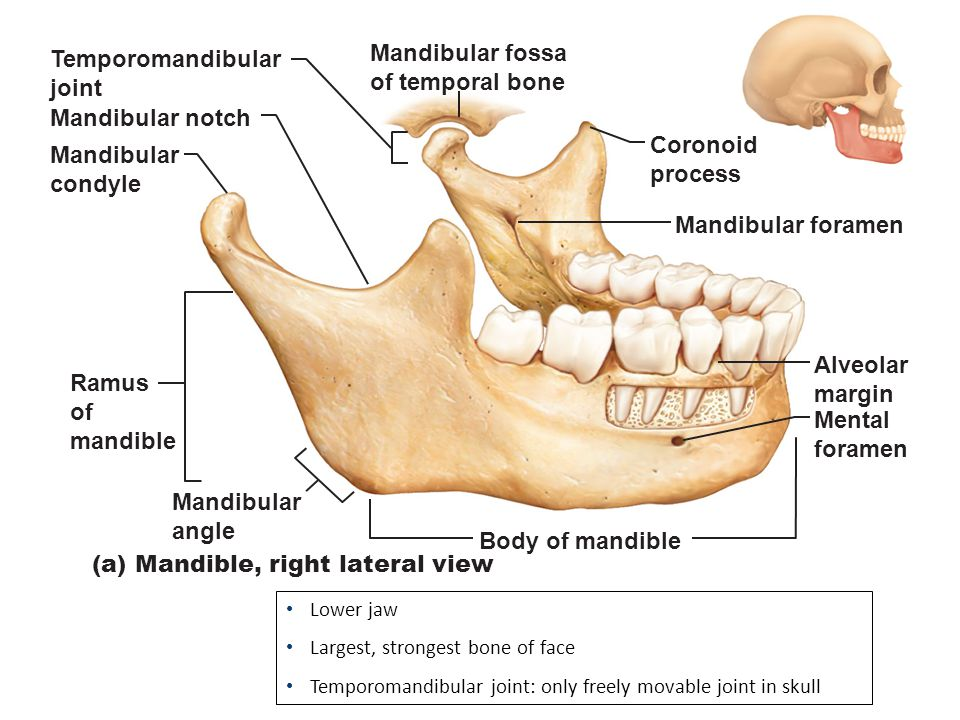 (a) Mandible, right lateral view Temporomandibular joint