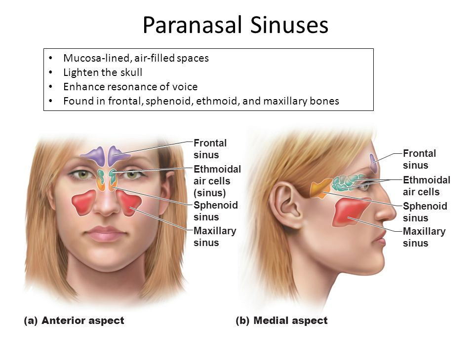Paranasal Sinuses Mucosa-lined, air-filled spaces Lighten the skull