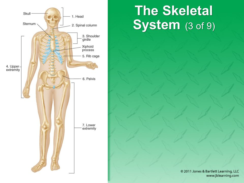 The Skeletal System (3 of 9)