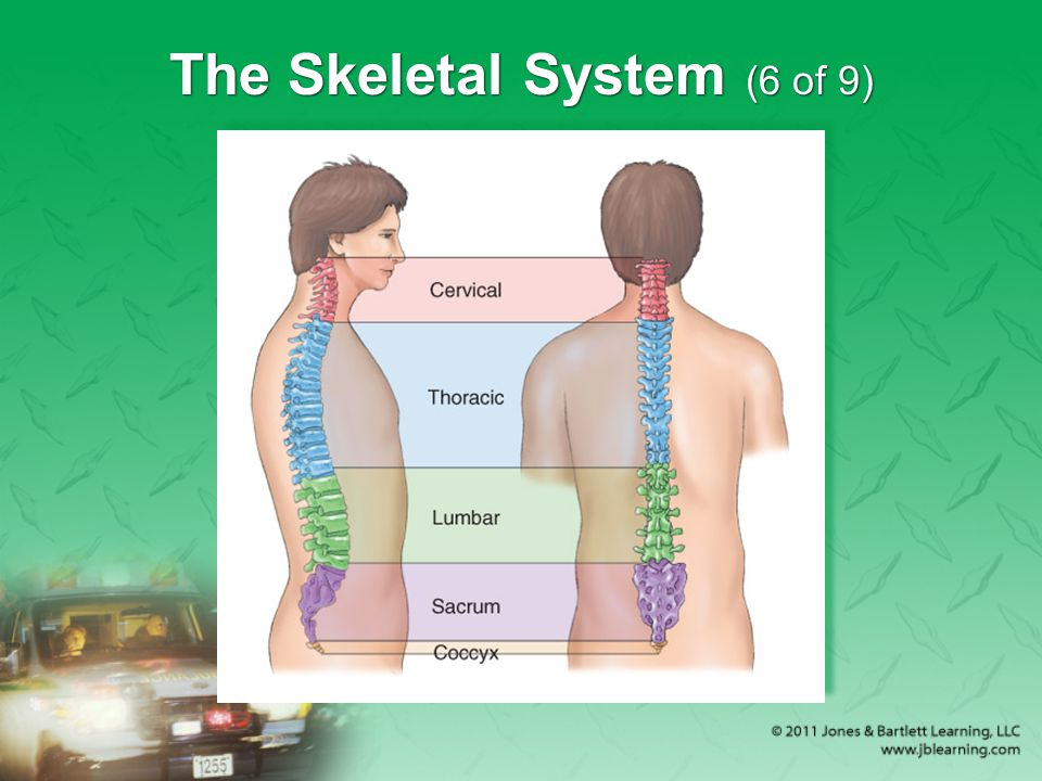 The Skeletal System (6 of 9)
