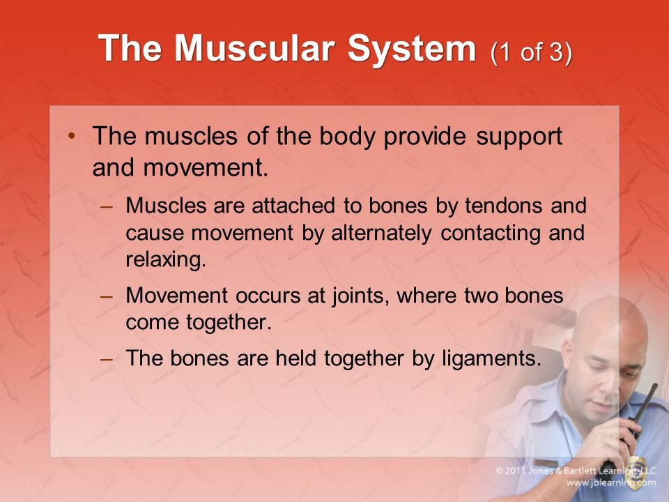 The Muscular System (1 of 3)