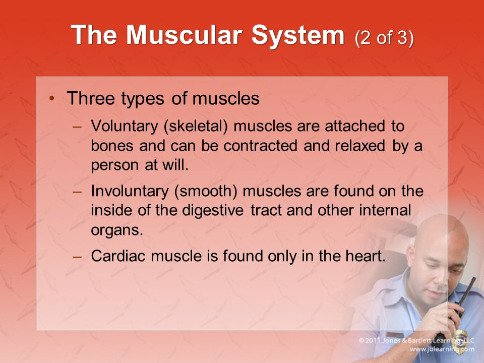 The Muscular System (2 of 3)