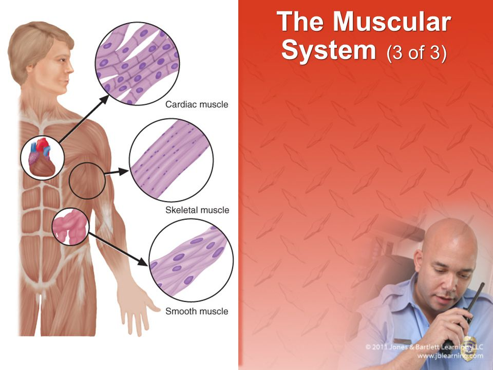 The Muscular System (3 of 3)