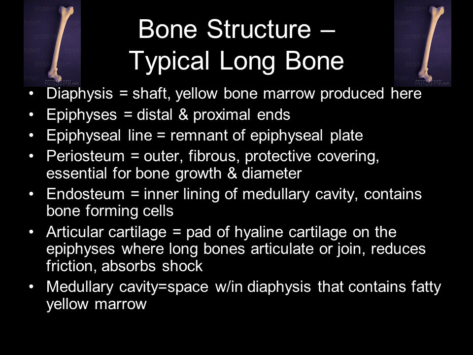 Bone Structure – Typical Long Bone