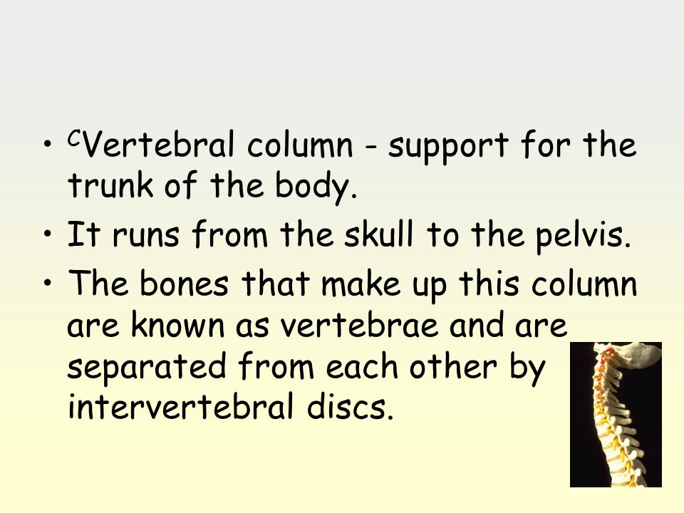 CVertebral column - support for the trunk of the body.