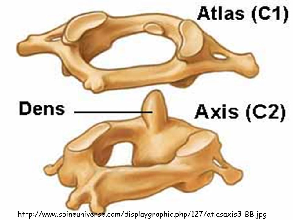 http://www. spineuniverse. com/displaygraphic. php/127/atlasaxis3-BB