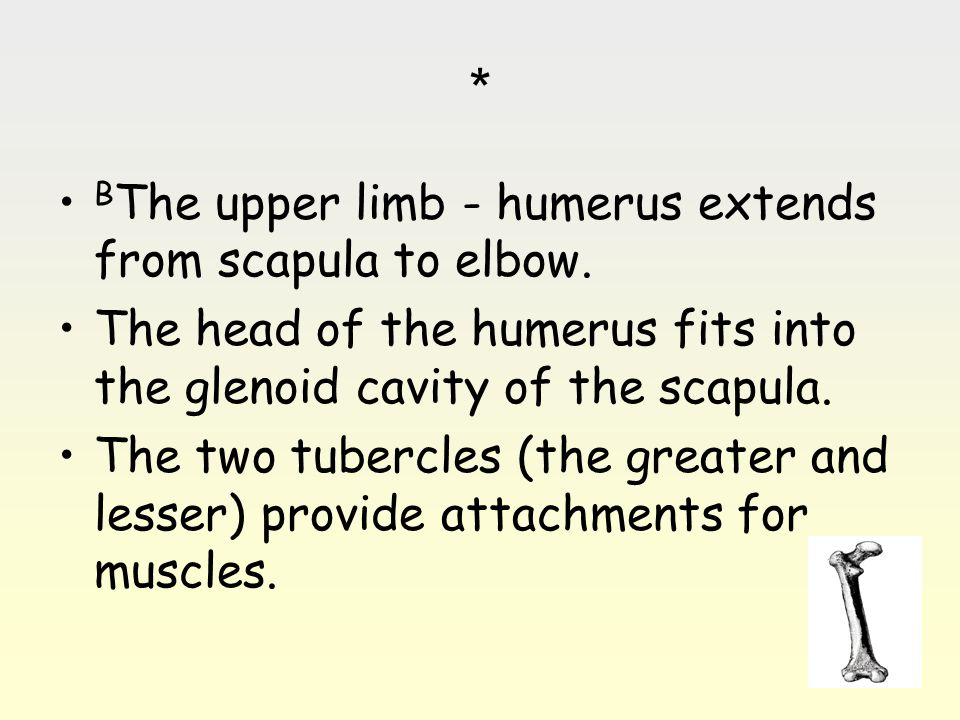 * BThe upper limb - humerus extends from scapula to elbow.