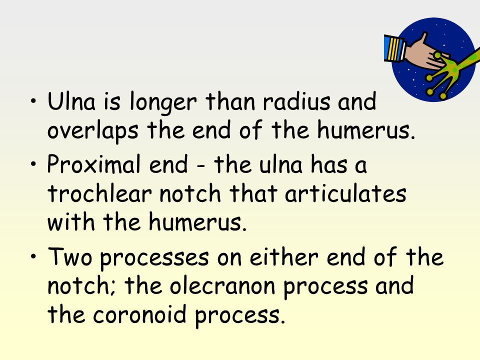 Ulna is longer than radius and overlaps the end of the humerus.