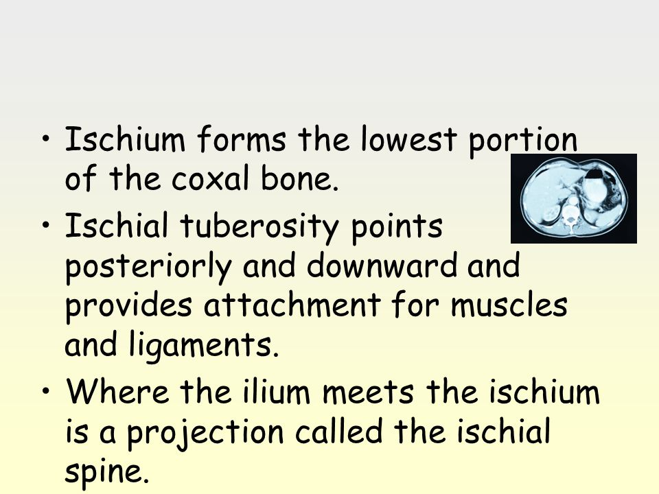 Ischium forms the lowest portion of the coxal bone.