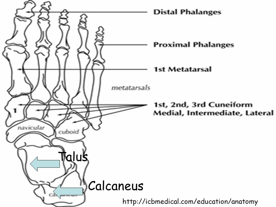 Talus Calcaneus http://icbmedical.com/education/anatomy