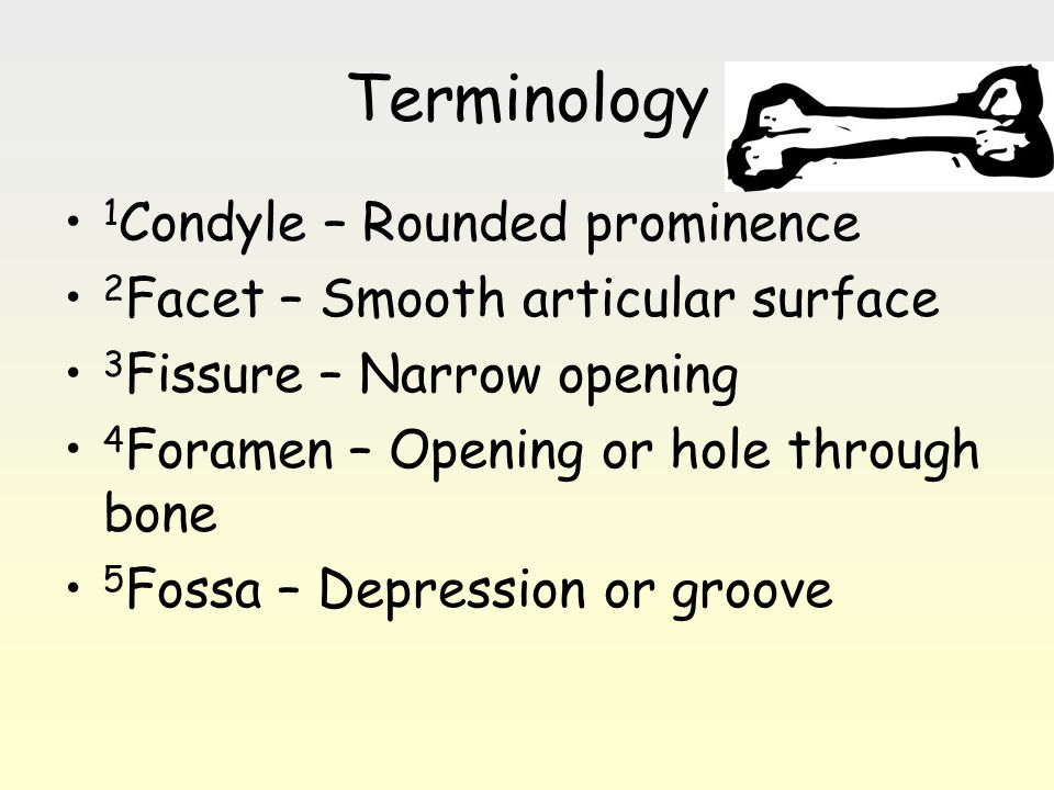 Terminology 1Condyle – Rounded prominence