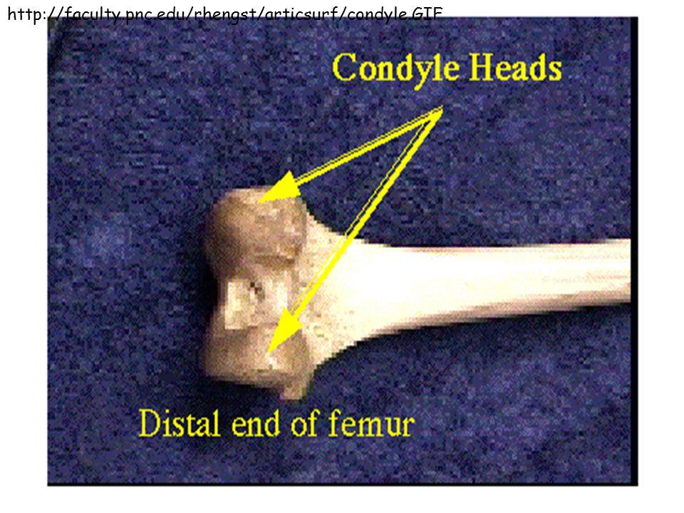 http://faculty.pnc.edu/rhengst/articsurf/condyle.GIF