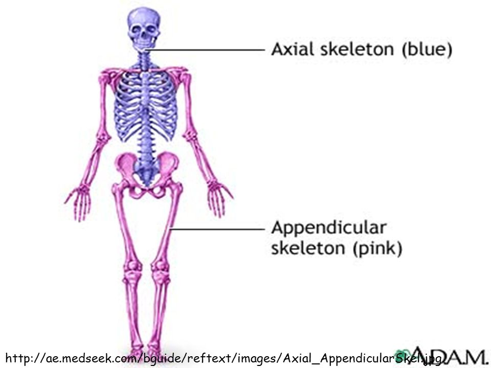 http://ae. medseek. com/bguide/reftext/images/Axial_AppendicularSkel