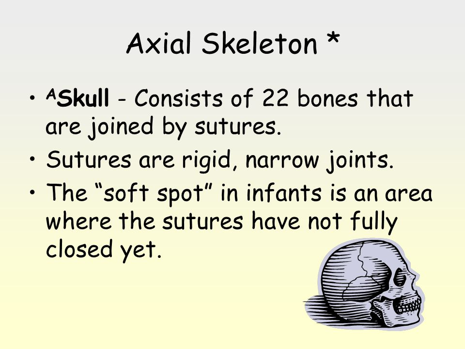 Axial Skeleton * ASkull - Consists of 22 bones that are joined by sutures. Sutures are rigid, narrow joints.