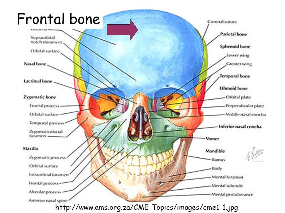 Frontal bone http://www.ams.org.za/CME-Topics/images/cme1-1.jpg