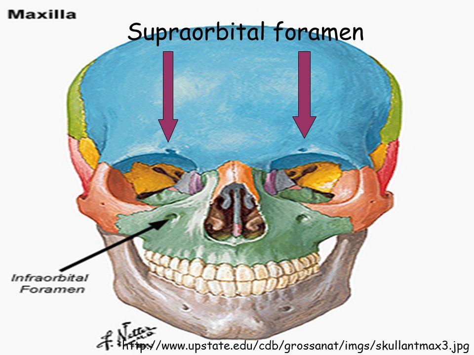 Supraorbital foramen http://www.upstate.edu/cdb/grossanat/imgs/skullantmax3.jpg