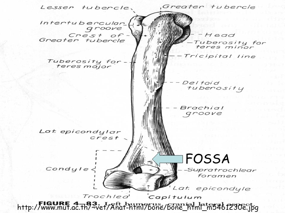 FOSSA http://www.mut.ac.th/~vet/Anat-html/bone/bone_html_m5461230e.jpg