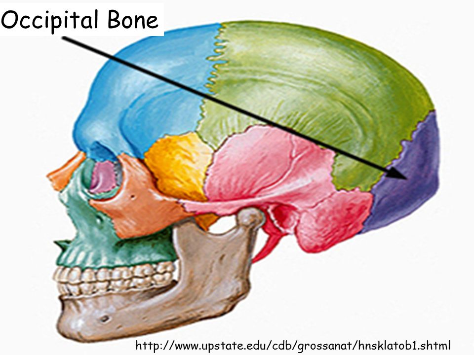 Occipital Bone http://www.upstate.edu/cdb/grossanat/hnsklatob1.shtml