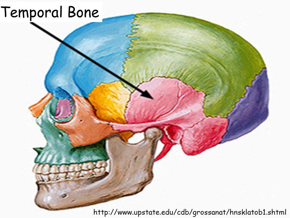 Temporal Bone http://www.upstate.edu/cdb/grossanat/hnsklatob1.shtml