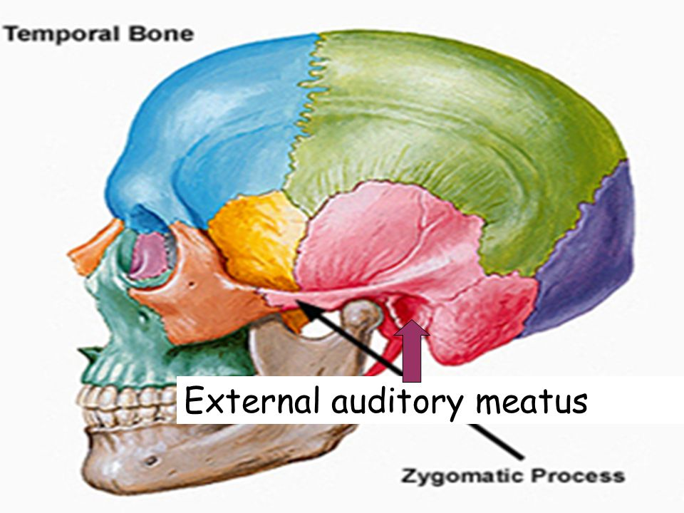 External auditory meatus