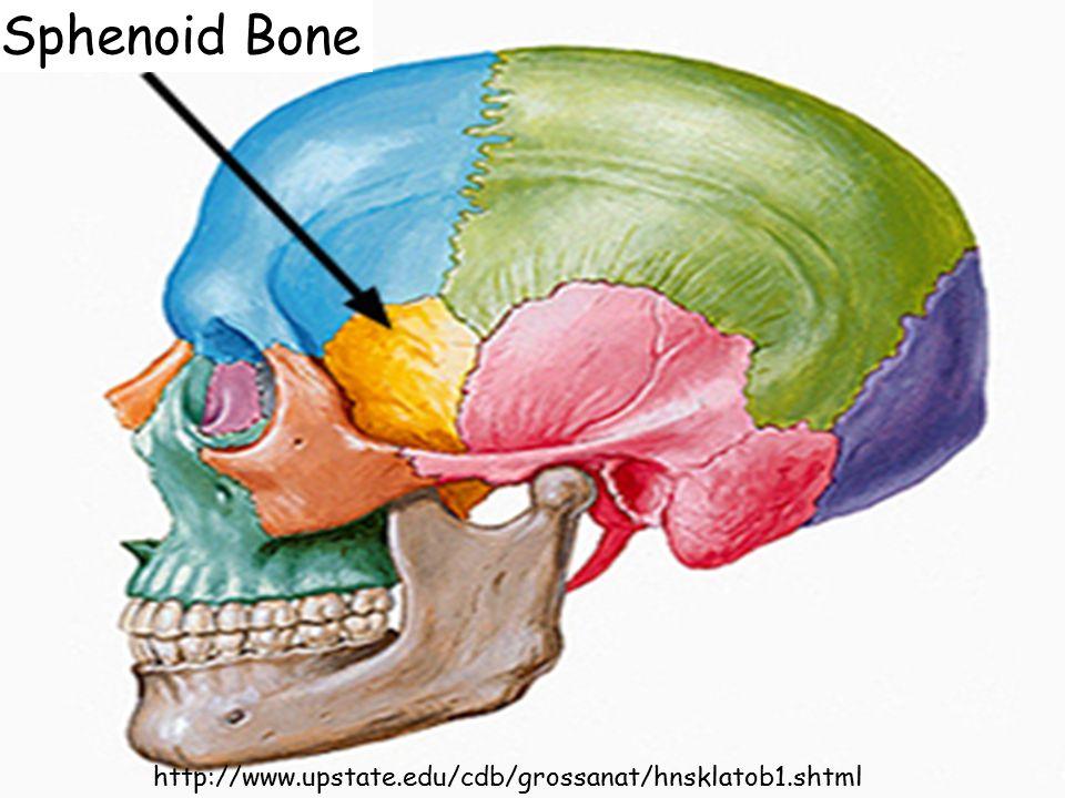 Sphenoid Bone http://www.upstate.edu/cdb/grossanat/hnsklatob1.shtml
