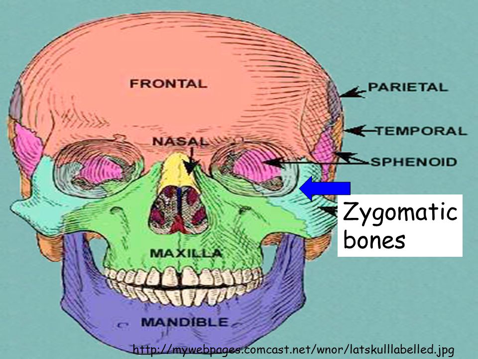 Zygomatic bones http://mywebpages.comcast.net/wnor/latskulllabelled.jpg