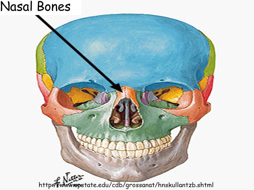 Nasal Bones http://www.upstate.edu/cdb/grossanat/hnskullantzb.shtml