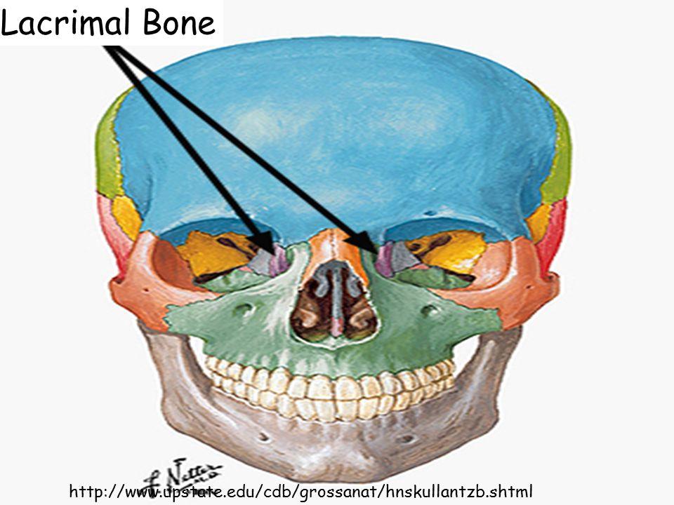 Lacrimal Bone http://www.upstate.edu/cdb/grossanat/hnskullantzb.shtml