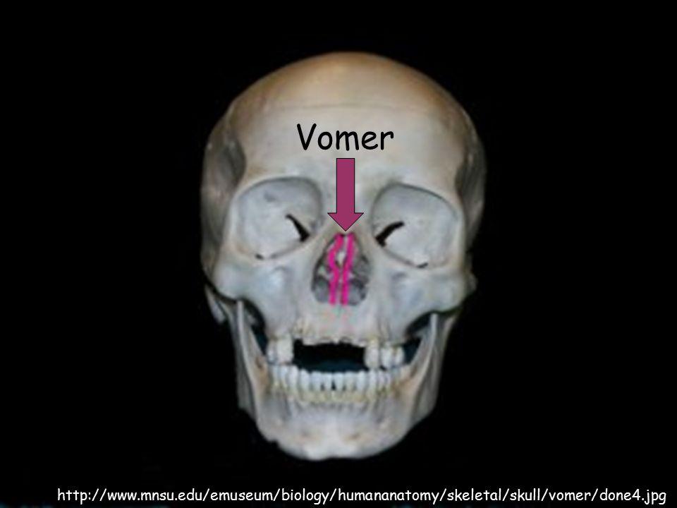 Vomer http://www.mnsu.edu/emuseum/biology/humananatomy/skeletal/skull/vomer/done4.jpg