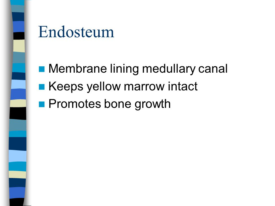 Endosteum Membrane lining medullary canal Keeps yellow marrow intact