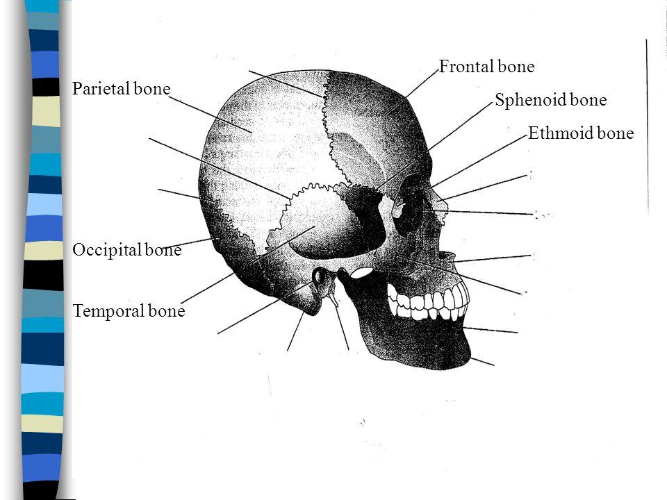 Frontal bone Parietal bone Sphenoid bone Ethmoid bone Occipital bone Temporal bone