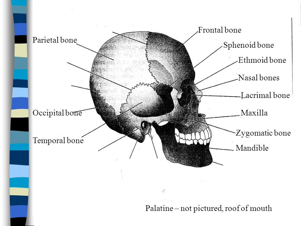 Frontal bone Parietal bone. Sphenoid bone. Ethmoid bone. Nasal bones. Lacrimal bone. Occipital bone.