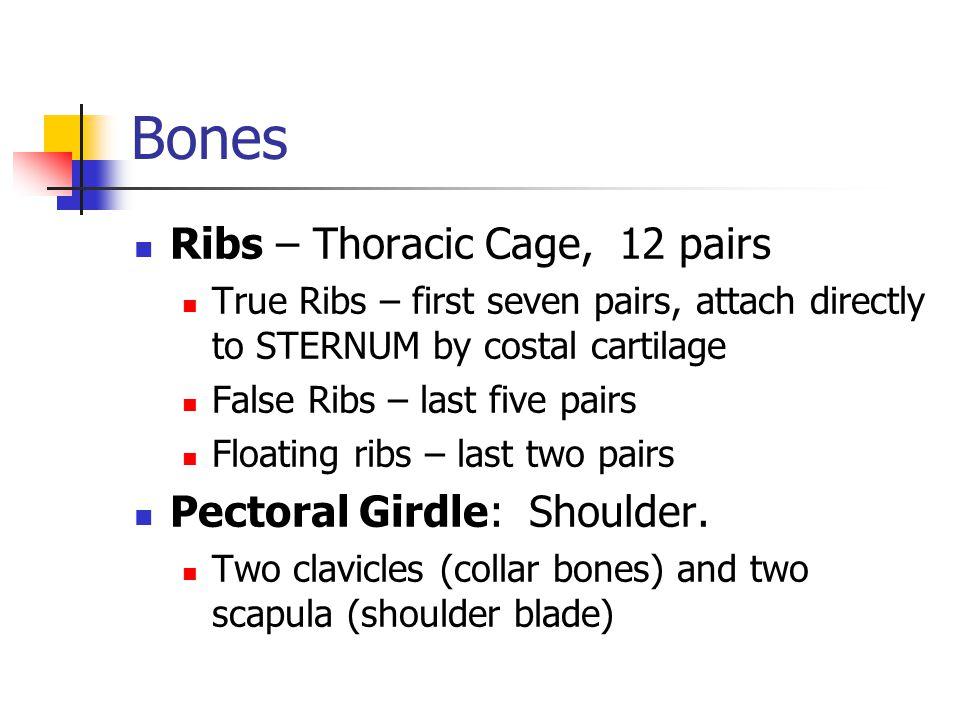 Bones Ribs – Thoracic Cage, 12 pairs Pectoral Girdle: Shoulder.