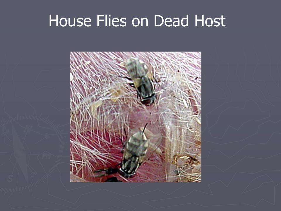House Flies on Dead Host